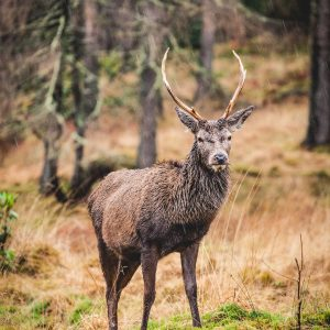 Stag at Glen Etive – Print
