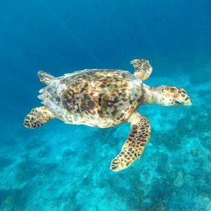 Hawksbill Sea Turtle – Landscape Print
